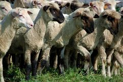 Flock of sheep. On the meadow Stock Photo
