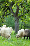 Flock of sheep Stock Photo