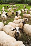 Flock of sheep. In pasture walking towards the viewer Royalty Free Stock Images