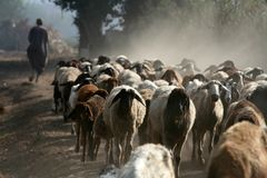 Flock of sheep. With a Shepherd in the backround moving away, photo taken in egypt Stock Photos