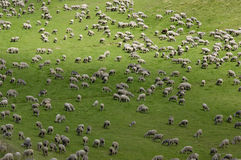 Flock of sheep. A flock of sheep near Chamrousse in the French Alps Stock Photo