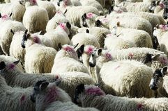 Flock of sheep. Ready to go to market Royalty Free Stock Photo