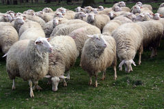 Flock of sheep. Graze fresh grass Stock Photo