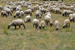 Flock of sheep. Grazing on a field Stock Photo
