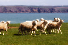 A flock of sheep Royalty Free Stock Photos