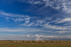Flock of sheep. To graze on blue sky background Royalty Free Stock Photo