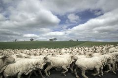 Flock of sheep. A flock of sheep crowding an australian road Stock Photos