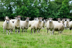 Flock of sheep. Flock of sheep looking at you Stock Photo