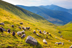 Flock of sheep. In the mountains at summer Royalty Free Stock Photo