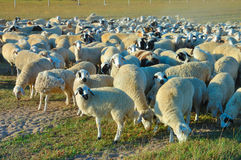 Flock of sheep. On the endless grassland in Autumn Stock Photography