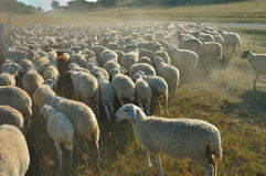 Flock of sheep. On the endless grassland in Autumn Royalty Free Stock Images