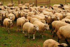 Flock of sheep. Hundreds of sheep hurtling by at a farm, motion blur on the nearest ones Royalty Free Stock Photography