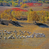 A flock of sheep Stock Images
