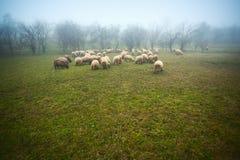 Flock of sheep. Grazing in garden. Fog and mist Stock Photos