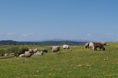 Flock of sheep Stock Images