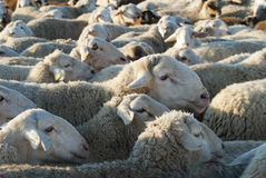 Flock of sheep. Royalty Free Stock Photography