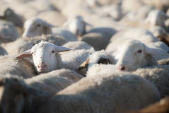 Flock of sheep. Royalty Free Stock Image