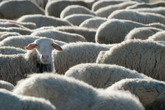 Flock of sheep. Sheep grazing in the field in a sunny day stock image