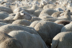 Flock of sheep. Royalty Free Stock Photo