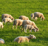 Flock of sheep. Flock of the sheep with young lambs at grass Stock Images