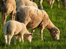 Flock of sheep. Flock of the sheep with young lambs at grass Royalty Free Stock Photos