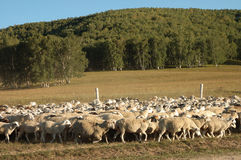 Flock of sheep. On the endless grassland in Autumn Royalty Free Stock Photo