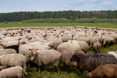 Flock of sheep Royalty Free Stock Photography