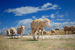 Flock of sheep. A view of a flock of sheep Stock Image