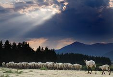 Flock of Sheep. Returning home before the storm Stock Photo