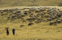 Flock of sheep. On the mountain of Macedonia Royalty Free Stock Image