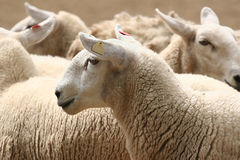 Flock of Sheep. Close-up on a flock of sheep Stock Photo