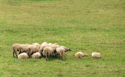 Flock of sheep. A flock of sheep is resting on a grass Royalty Free Stock Photo