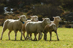 Flock of sheep. Guided by sheepdog Royalty Free Stock Photo