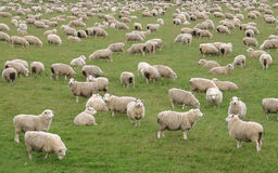 Flock of Sheep. In a green meadow curiously looking at camera. South Island. New Zealand Stock Photography