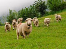 Flock of sheep. Small flock of sheep in Swiss Alps Royalty Free Stock Photos