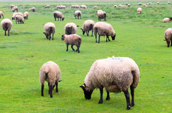 Flock of sheep. Suffolk Sheep on the landscape taken near Mont Saint Michel, France Royalty Free Stock Photo