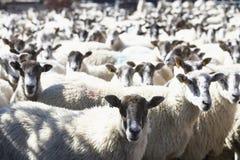 Flock Of Sheep. Looking towards camera Stock Photos