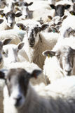 Flock Of Sheep. Looking towards camera Stock Images