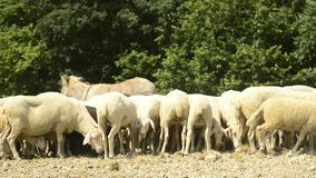 Flock of sheep stock video