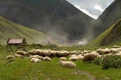 Flock of sheep Stock Photos