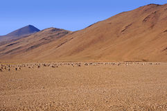 Flock of Sheep Against the Background of High Mountains in the Himalayas Royalty Free Stock Photography