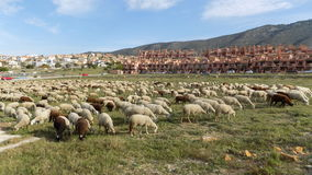 Flock of sheep in Alhaurin de la Torre-Andalusia-Spain stock photo