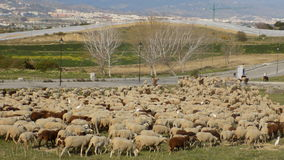 Flock of sheep in Alhaurin de la Torre-Andalusia-Spain Royalty Free Stock Images