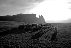 Flock of sheep - Alpe di Siusi. Flock of sheep in the fields of Alpe di Siusi - Trentino Alto Adige Royalty Free Stock Images
