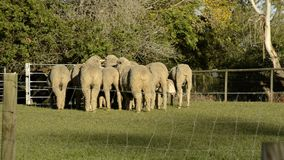 Flock of sheep also known as a herd. Flock of sheep also known as a herd out on the farm during the day time stock footage