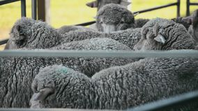 Flock of sheep also known as a herd. Flock of sheep also known as a herd out on the farm during the day time stock video
