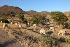 Flock of sheep in Andalucia Stock Images