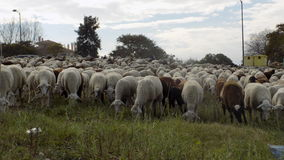 FLOCK OF SHEEP-Andalusia-Spain-Europe Royalty Free Stock Images