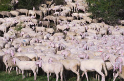 Flock of sheep - Animals and abstract concept Stock Photos