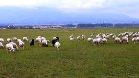 Flock of sheep attacks cameraman. stock footage